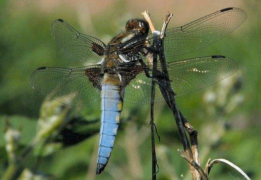 Libellula depressa la libellule d prim e - Photo de libellule a imprimer ...